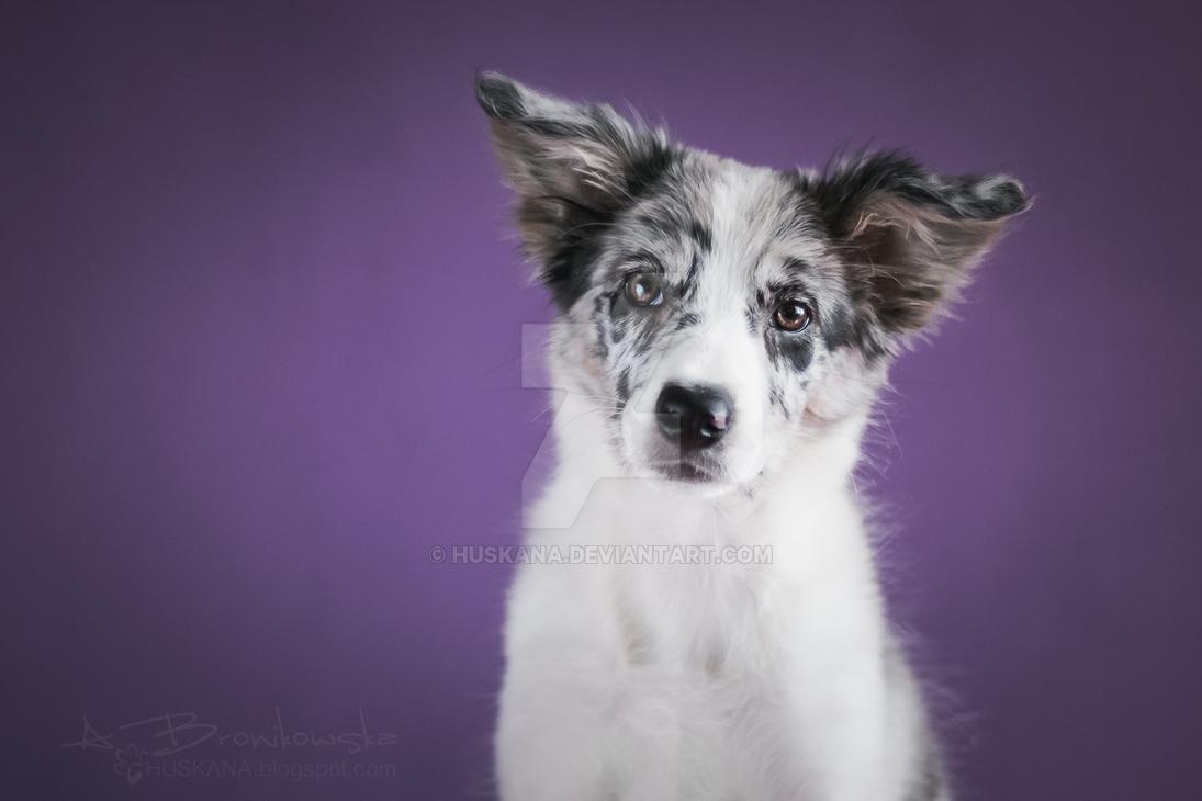 Portrait of a puppy Speedy by Huskana