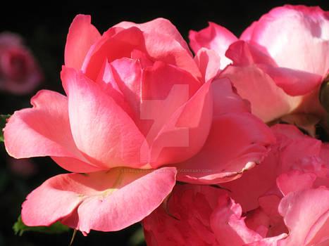 Rose In a Maze