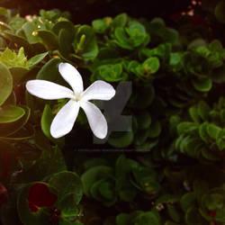 Fall Jasmine