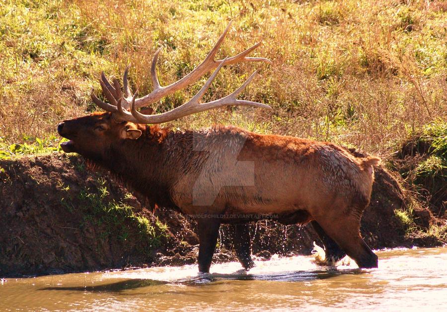 Bugleing Elk by silverwolfchild17