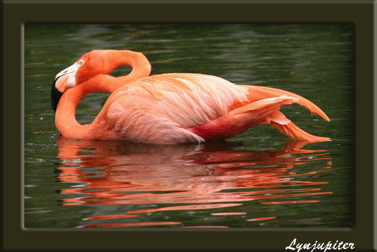 Flamingo reflection by lynjupiter