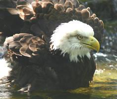 Bald eagle by lynjupiter