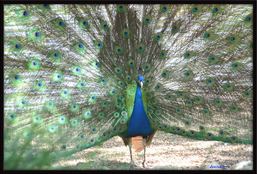 Peacock by lynjupiter