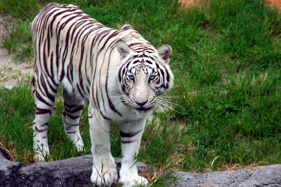The Tiger by lynjupiter