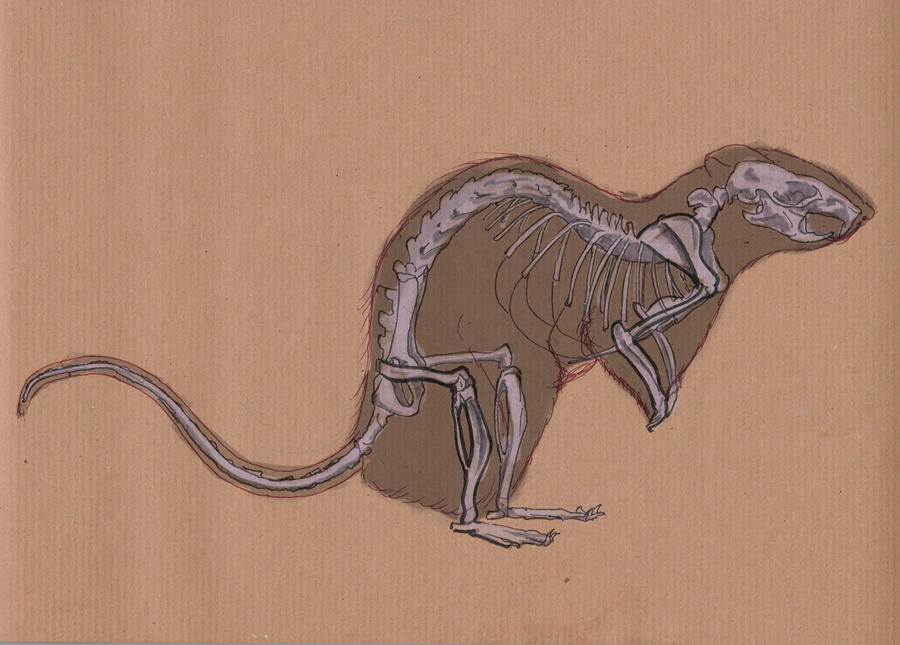 Traditional Sketching 17: Rat Anatomy by IgnazioDelMar on DeviantArt