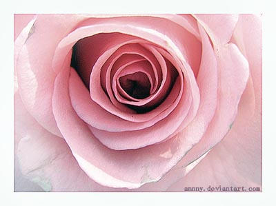 Rose by annny
