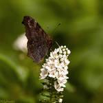 Mr. Butterfly