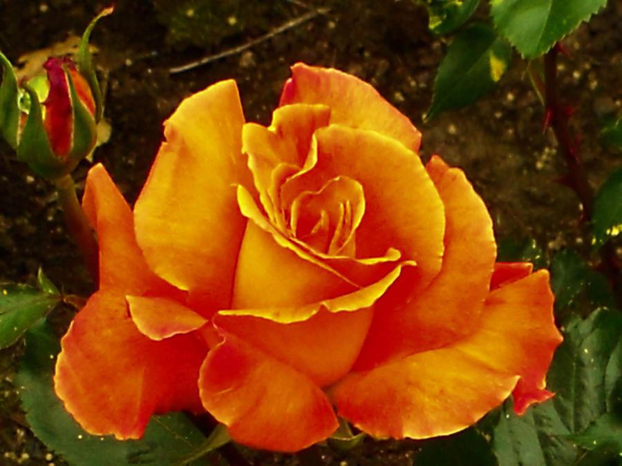 A Fiery Rose by MFDonovan
