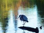 Great Blue Heron by MFDonovan