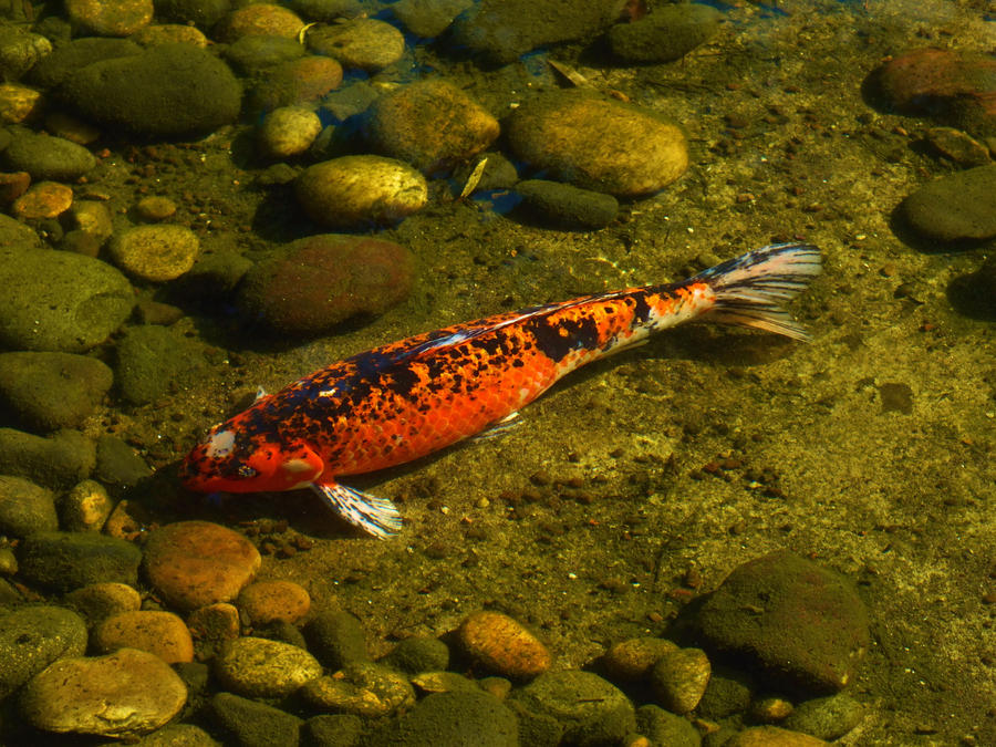 black and orange koi by mfdonovan on deviantart