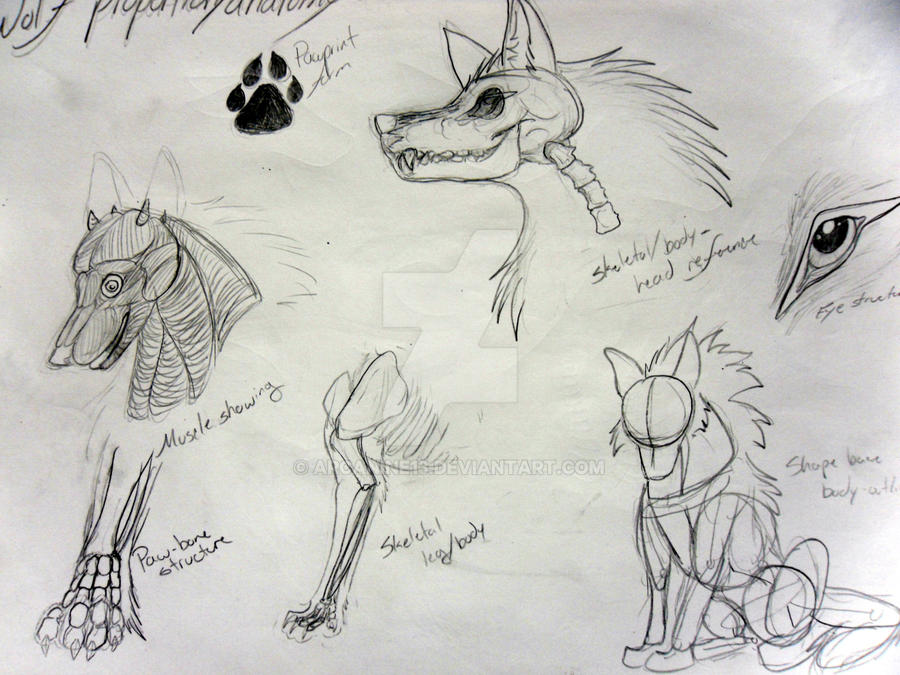 Wolf Anatomy Reference 1 by Arcanine13 on DeviantArt