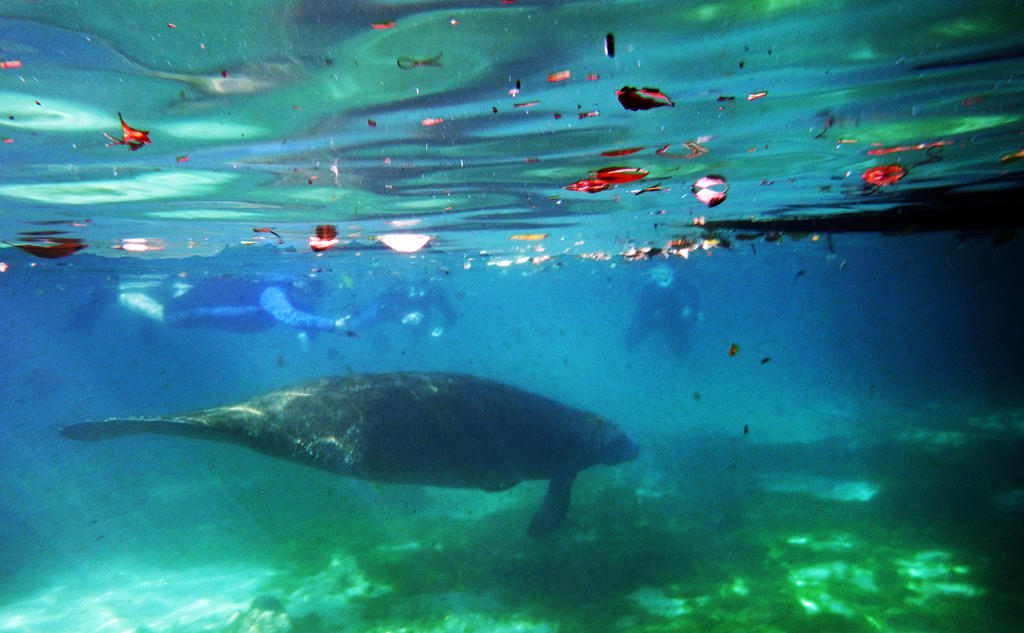 Manatee 2 by cannedhubris