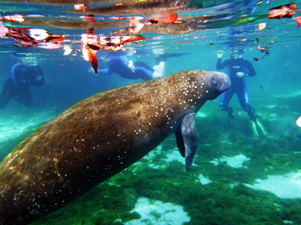 Manatee 3 by cannedhubris