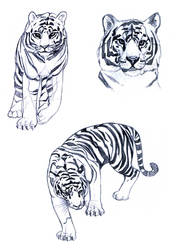 Tigers by Annemar