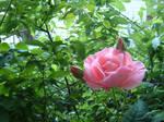 outside rose