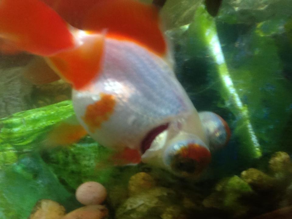 Curled-Gill Goldfish by FuzzyThePunkCat on DeviantArt