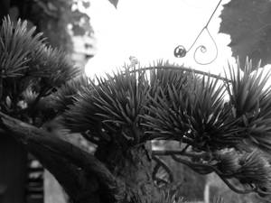 bonsai colourless