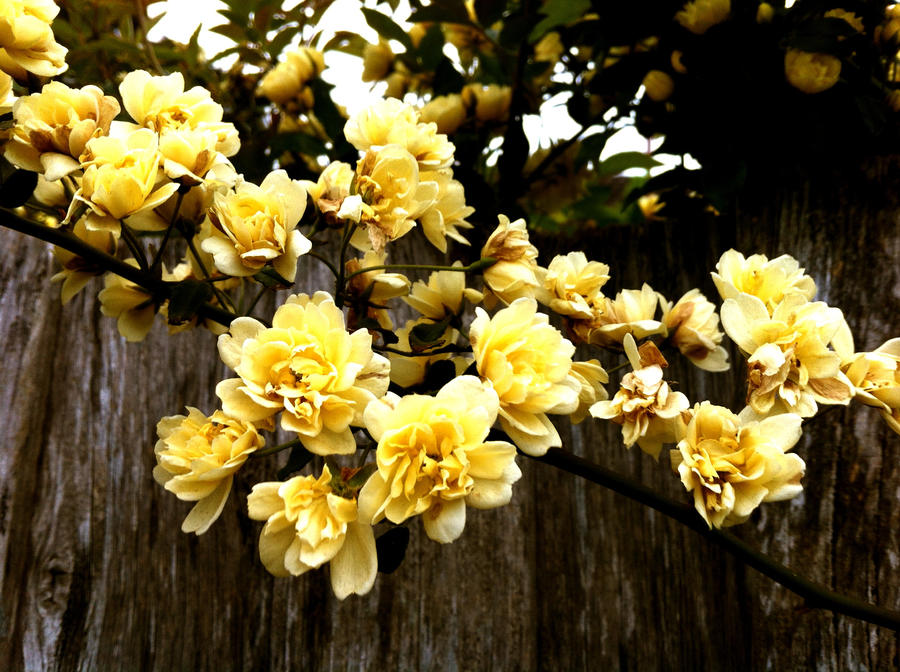 Cute little yellow flowers by chocolate6277 on deviantart cute little yellow flowers by chocolate6277 mightylinksfo