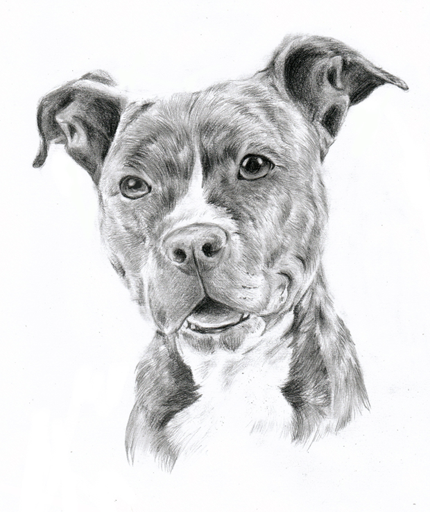Pitbull dog drawings in pencil - photo#12