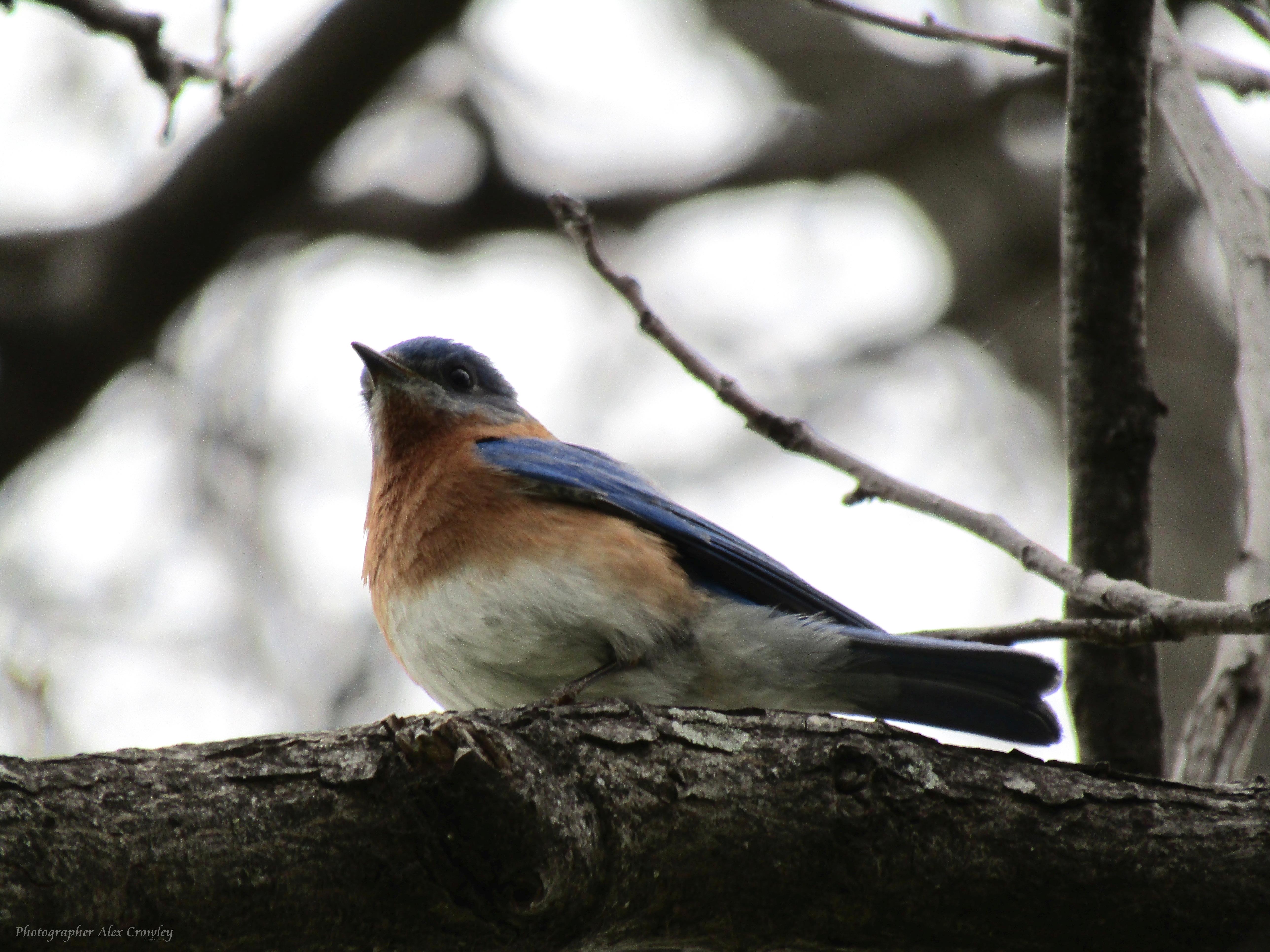 Eastern Bluebird (Male) by PhotographerAlexC