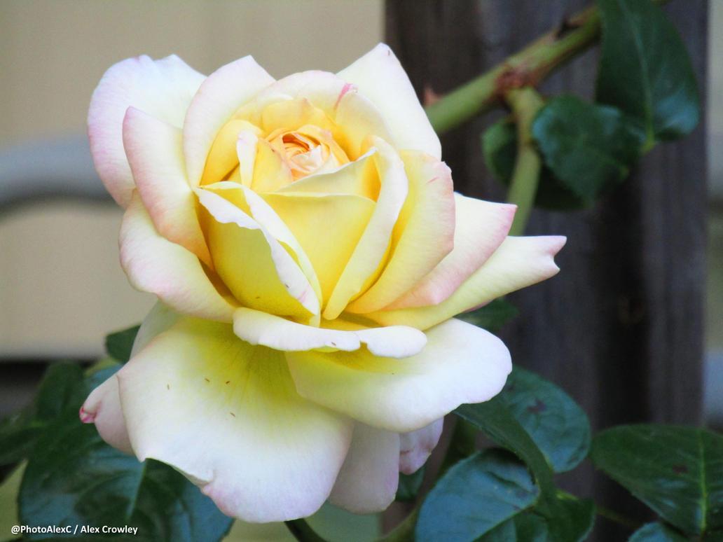 Yellow Rose by PhotographerAlexC