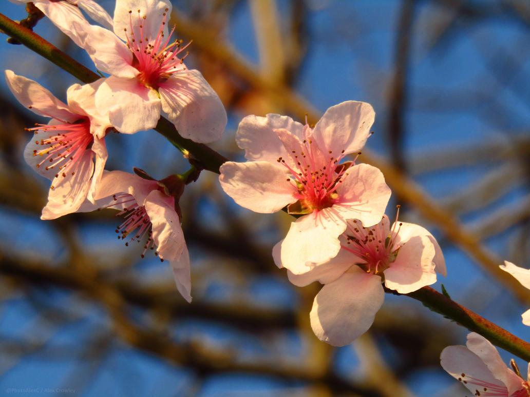 Sakura (Wild Cherry Blossoms) by PhotographerAlexC