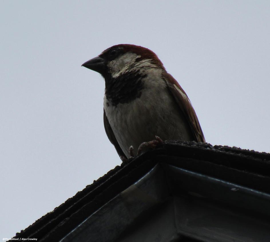 House Sparrow by PhotographerAlexC