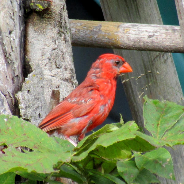 A growing baby male Cardinal by PhotographerAlexC