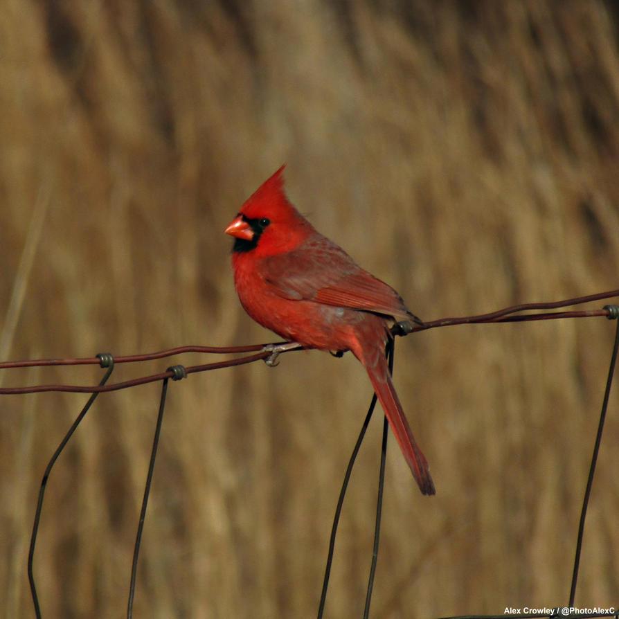 Our Neighbor bird. The Northern Cardinal. by PhotographerAlexC