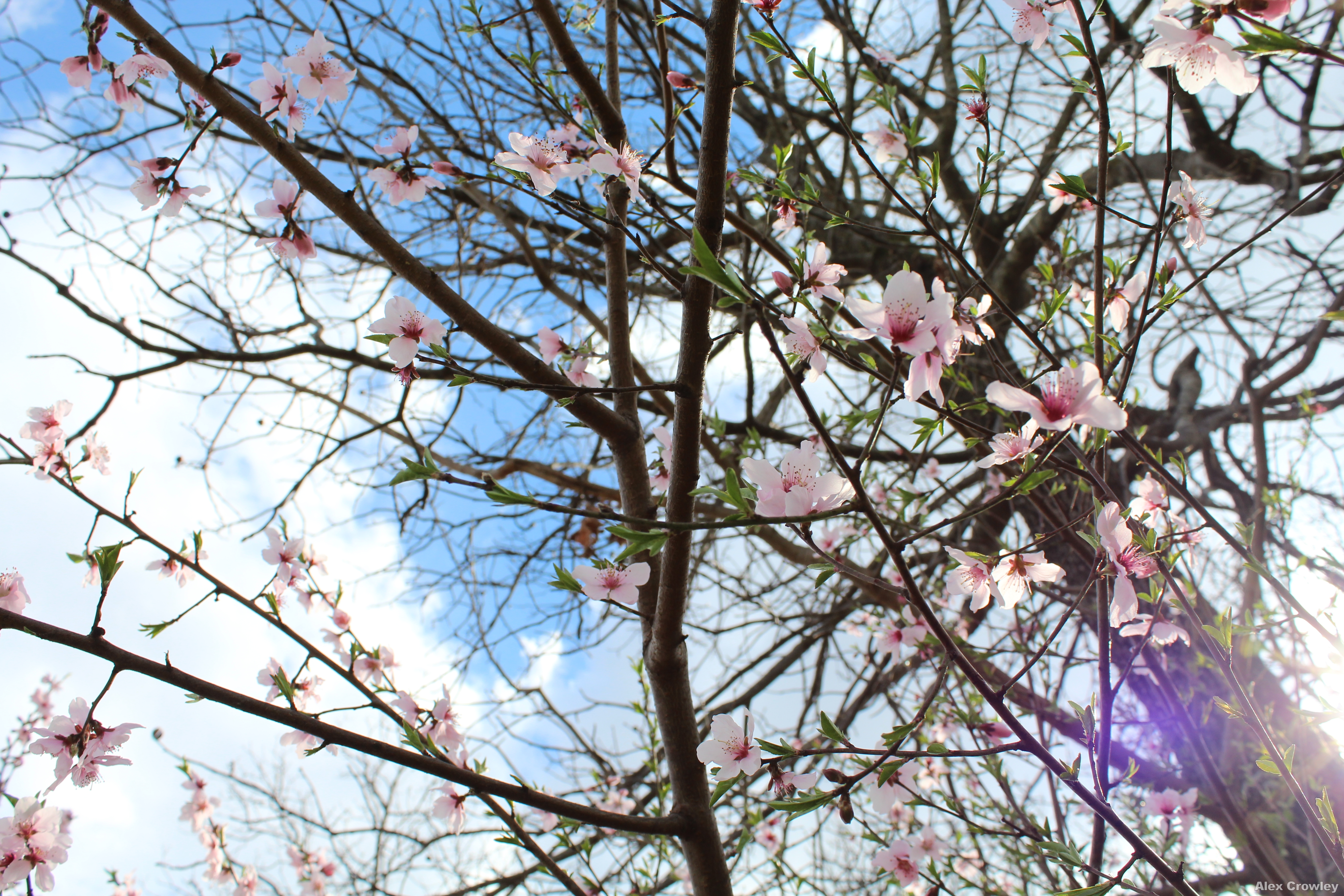 First day of Spring - Wild Cherry Blossoms by PhotographerAlexC