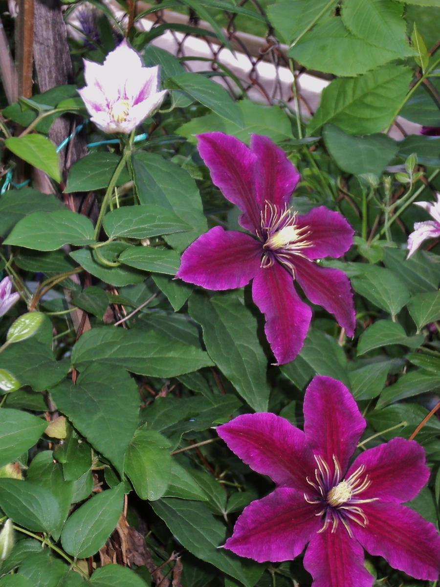 clematis vine in my garden by