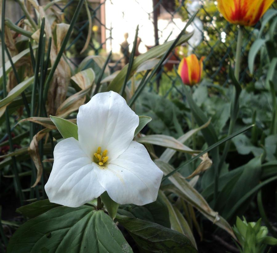 hidden among the tulips by analovecatdog