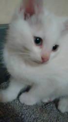 peter my new beautiful boy kitten by analovecatdog