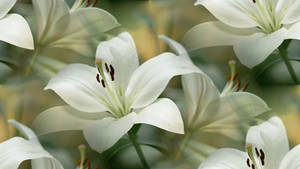 lillies of friendship