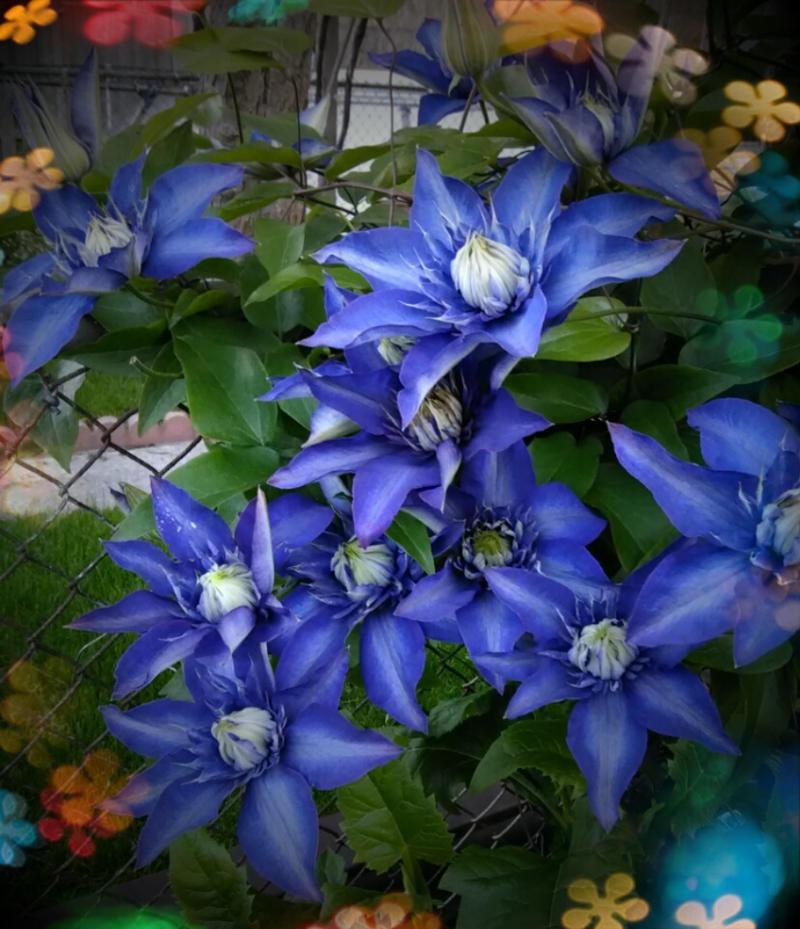 Flowers of love purple clematis