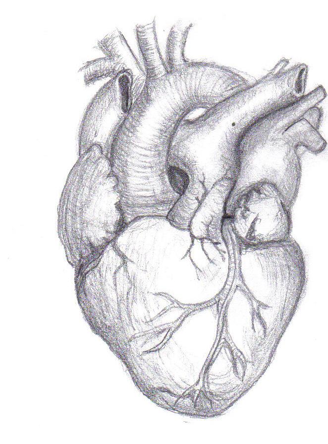Human Heart by Mutantenmaid on DeviantArt  Realistic