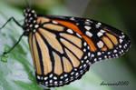 Monarch Butterfly 01 by daniellepowell82