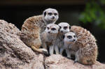 Family Meerkat Portrait