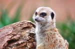 One Meerkat