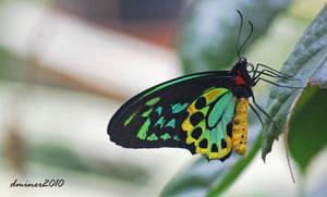 Birdwing Butterfly 02 by daniellepowell82
