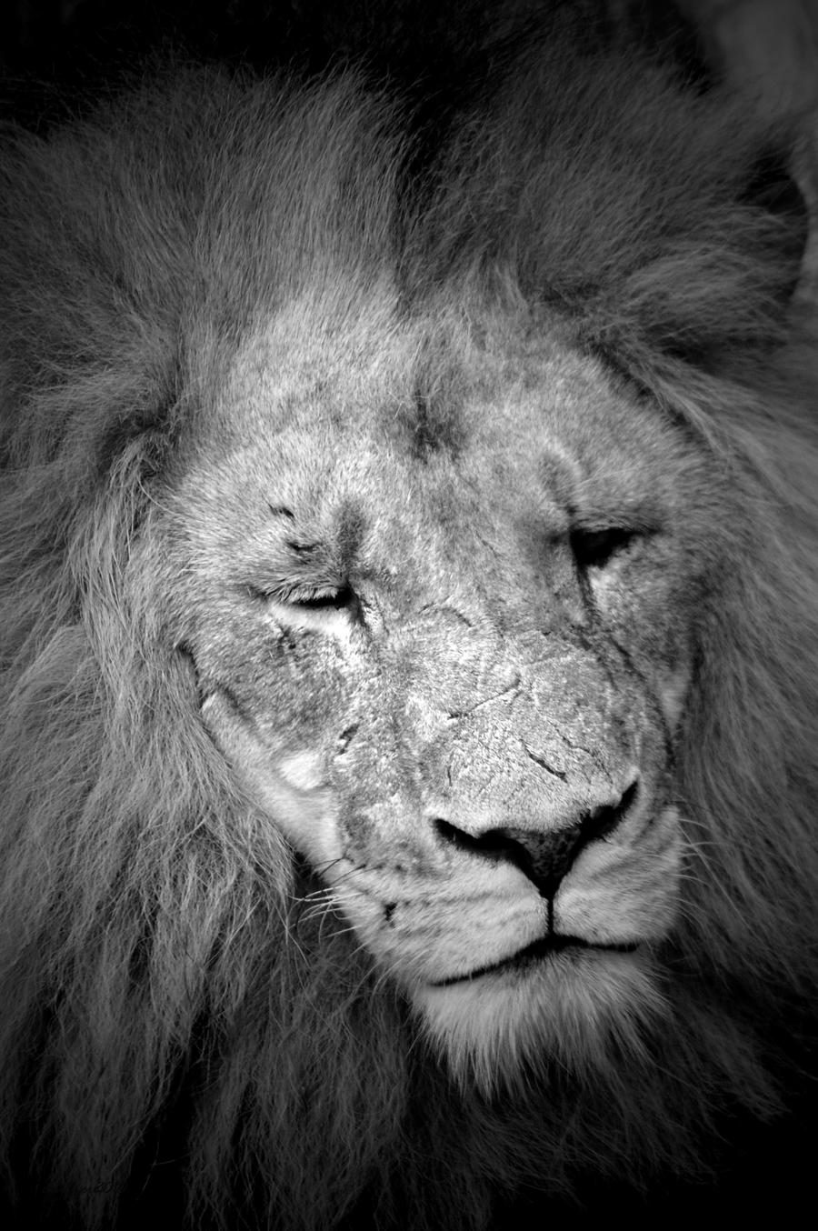 Black and White Lion by daniellepowell82