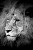 Black and white lion 2 by daniellepowell82