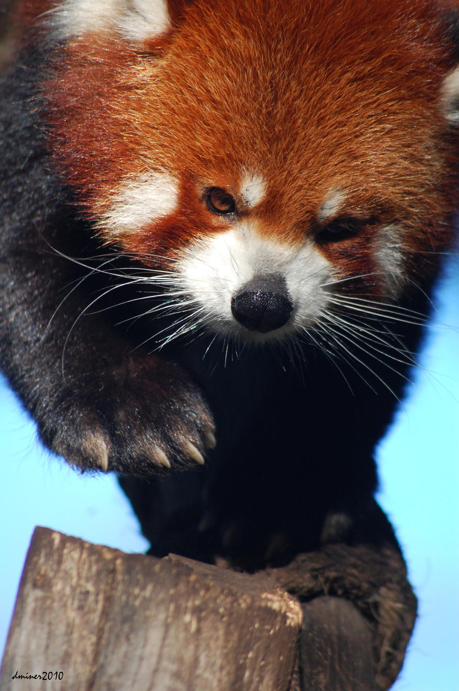 Red Panda 04 by DanielleMiner