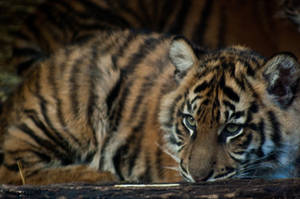 Cute Tiger Cub by daniellepowell82