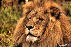 Lion HDR by daniellepowell82