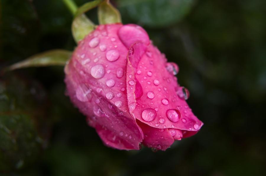 Rose by daniellepowell82
