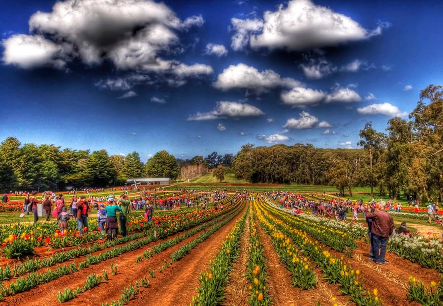 Tesselaar Tulip Farm 2 by DanielleMiner