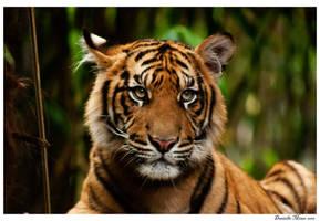 Tiger Cub Resting by daniellepowell82