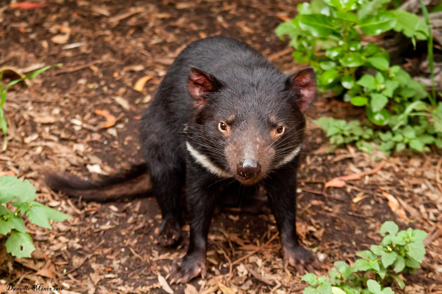 Tasmanian Devil by DanielleMiner