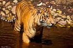 Tiger Dip